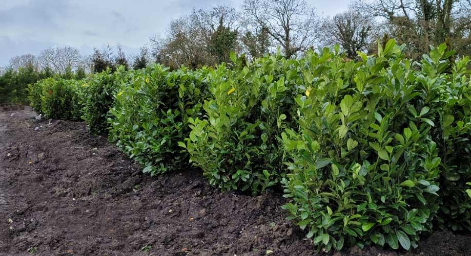 Laurel-Hedging-Plants