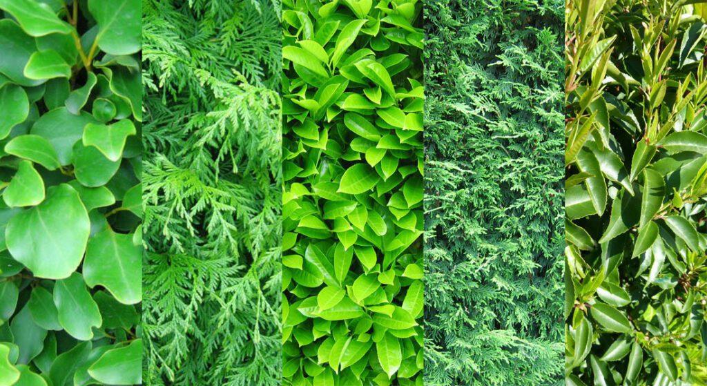 Best-Evergreen-Hedge