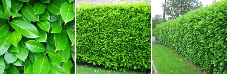 Best Evergreen Hedge No.1