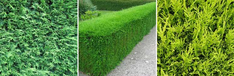 Best Evergreen Hedge No.2