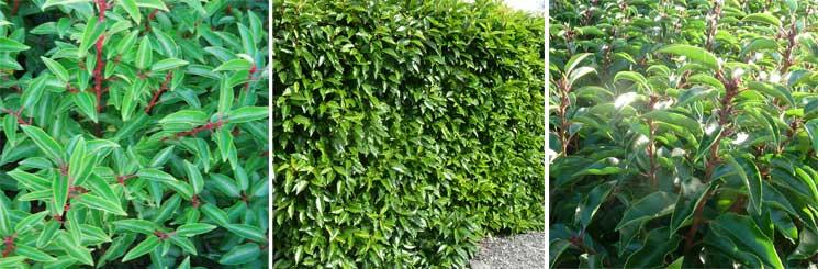 Best Evergreen Hedge No.3