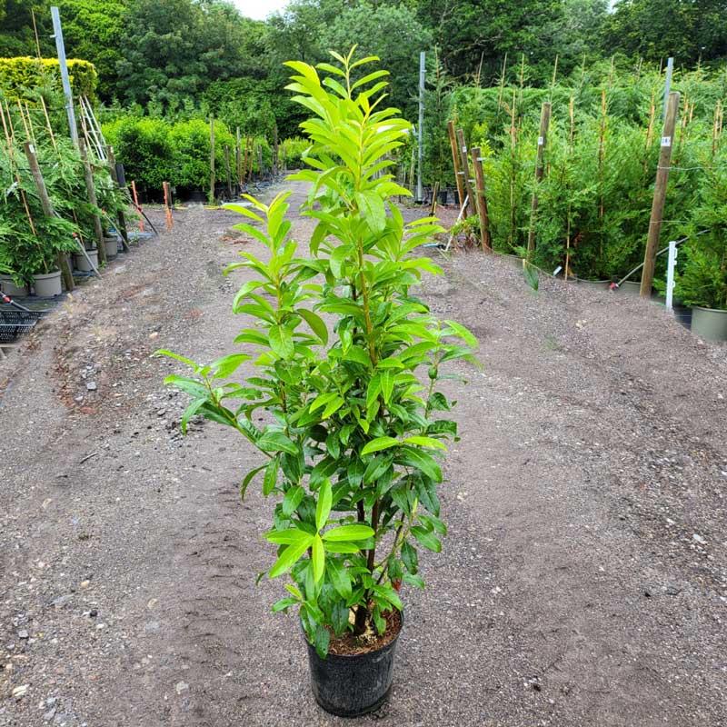 Laurel-Genolia-120-135cm