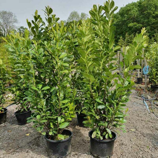 Laurel-Hedging-Plants-180-200cm