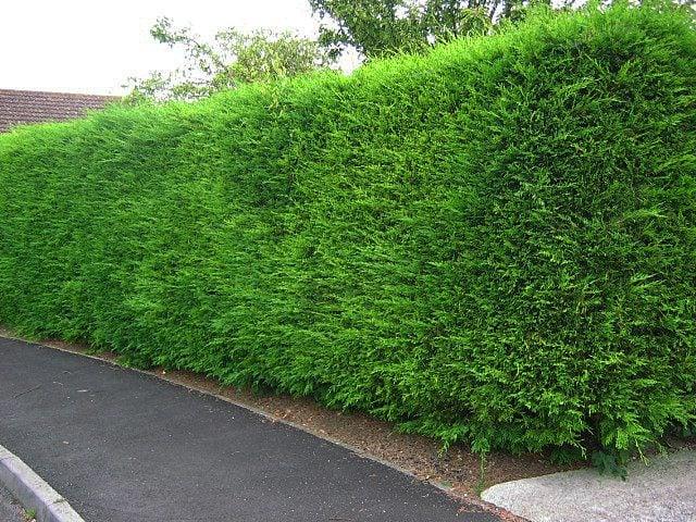 Leylandii Hedges Feat