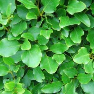 griselinia_hedge_close_up_03_1_1_2