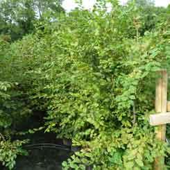 hornbeam-hedging-plants-245px