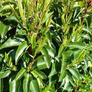 portugese-laurel-hedge-02_11