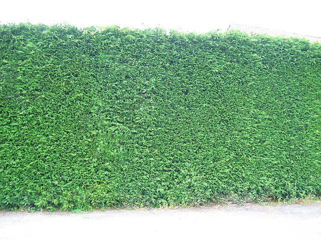 Leylandii Hedges 1