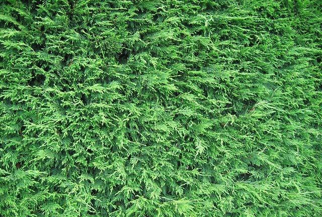 Leylandii Hedges 2