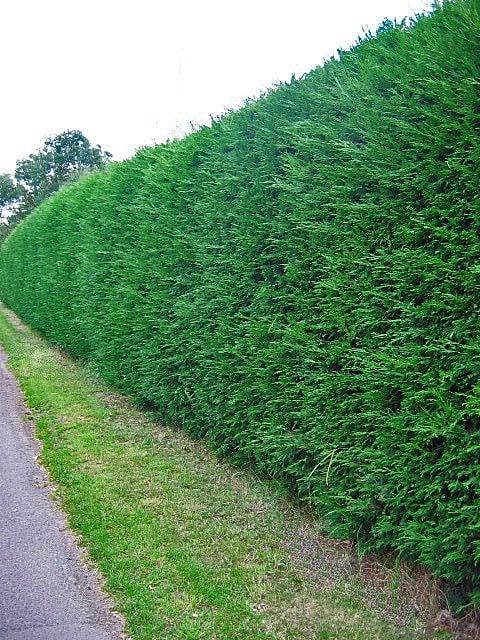 Leylandii Hedges 3