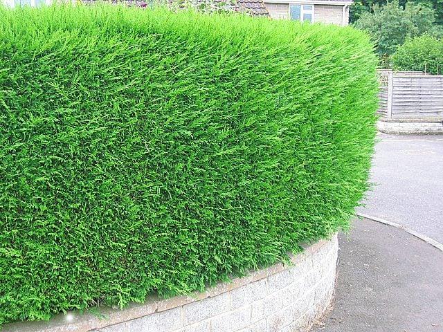 Leylandii Hedges 5