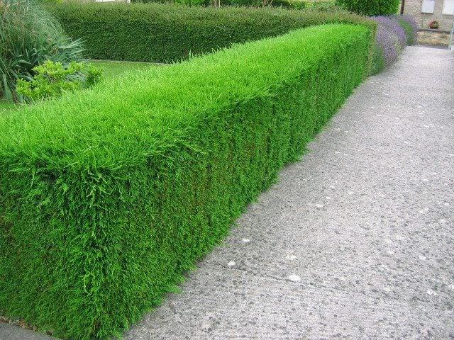 Leylandii Hedges 6