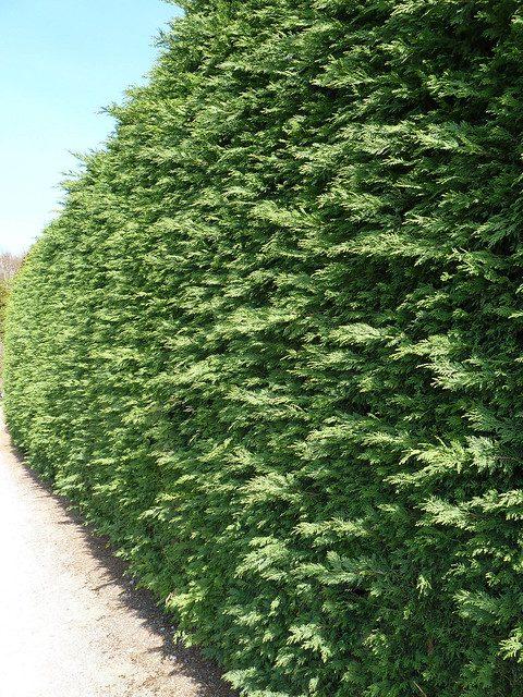 Leylandii Hedges 7