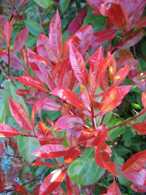 Photinia Red Robin 3
