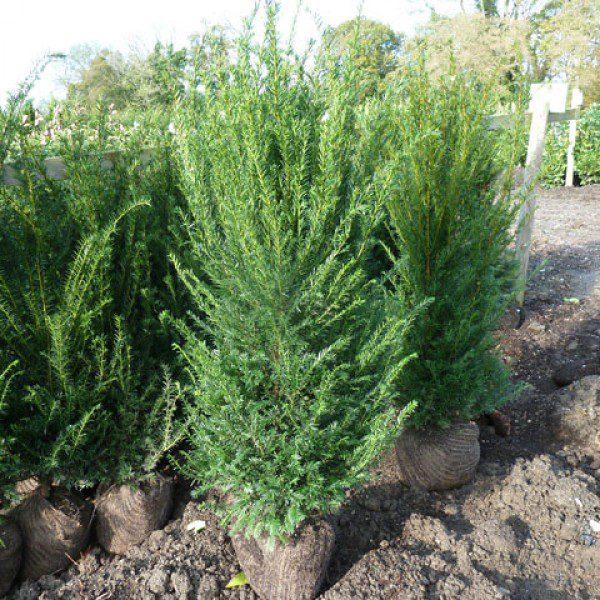 Yew-Hedges-1