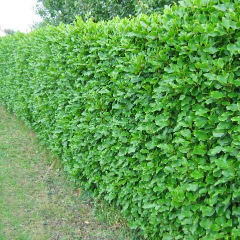 Griselinia-hedge