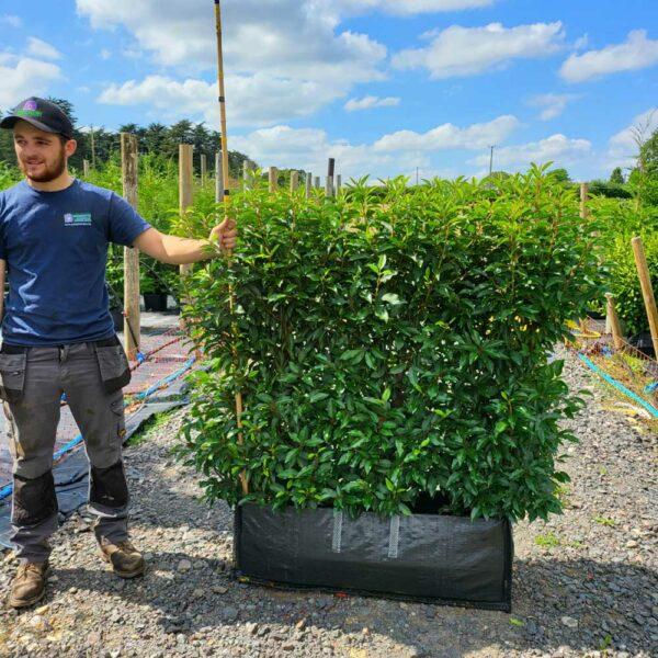 Portugal Laurel Instant Hedge